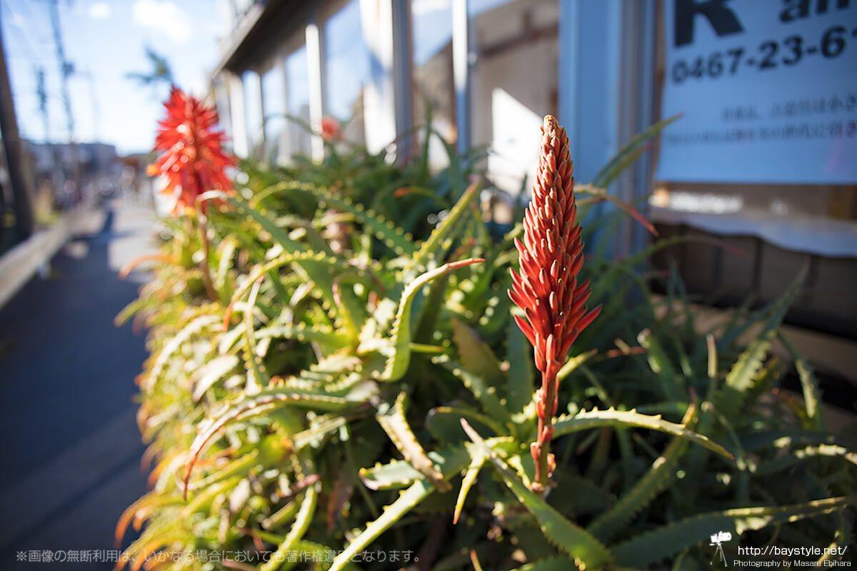 稲村ケ崎駅前のアロエの花