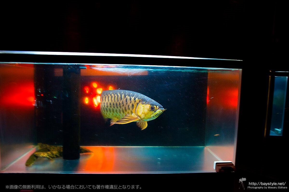 18BARの特徴といえば、店内で優雅に泳ぐ古代魚