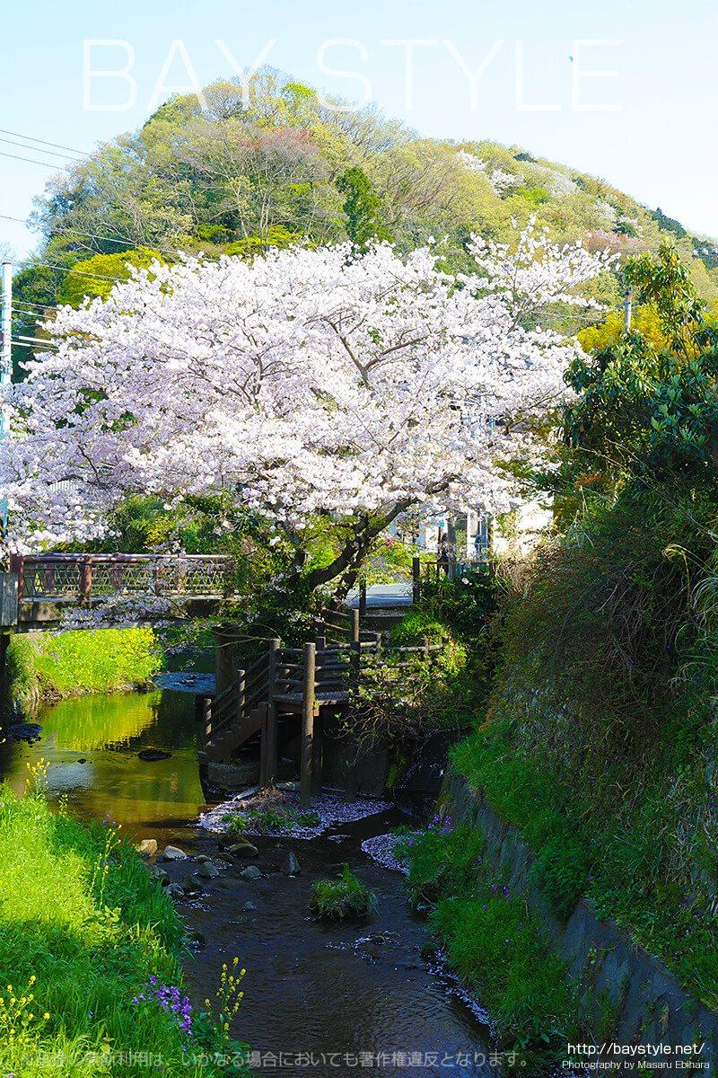 報国寺入口信号前にある桜の木