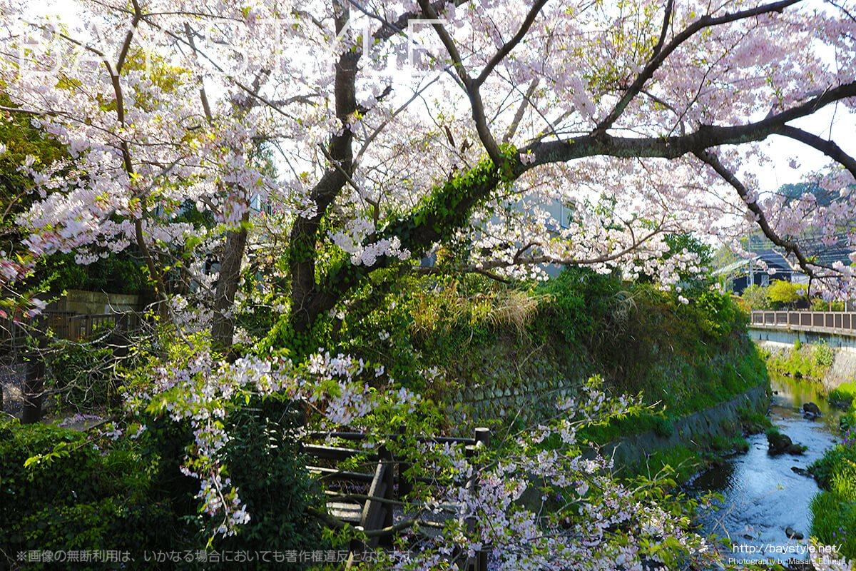 鎌倉で桜筏が見れる場所