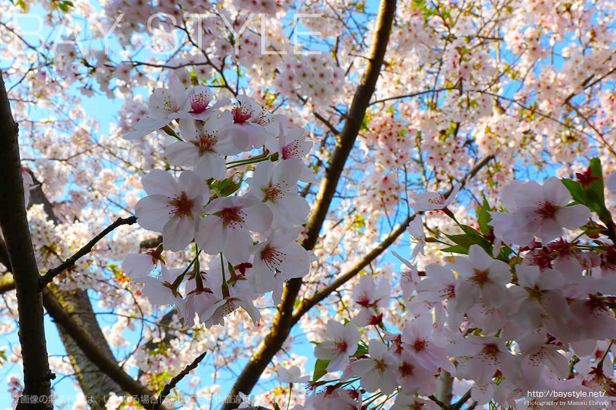 見どころ2:報国寺入口信号前にある桜の木