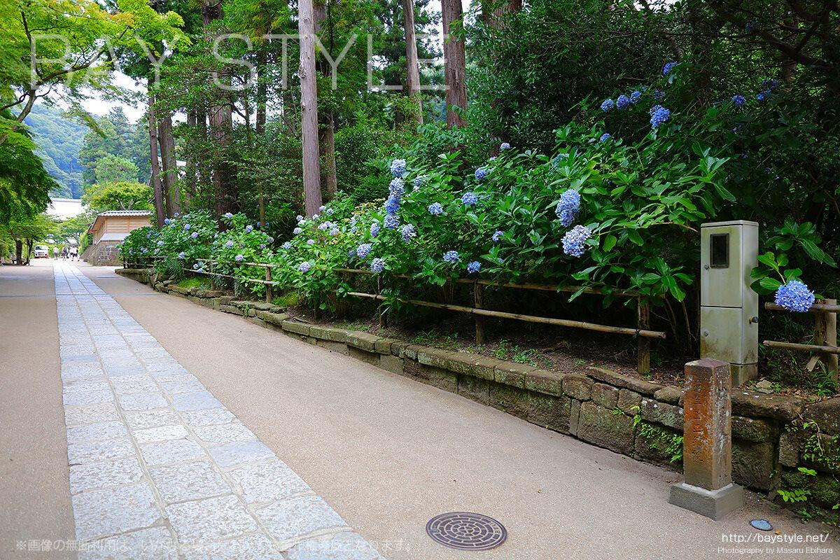 紫陽花が咲く円覚寺の敷地内