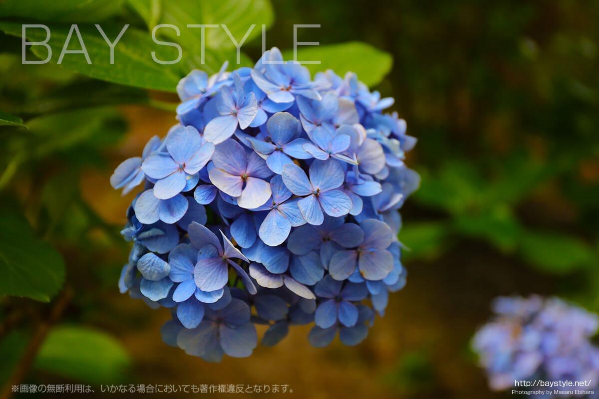 円覚寺の敷地内で撮影した紫陽花