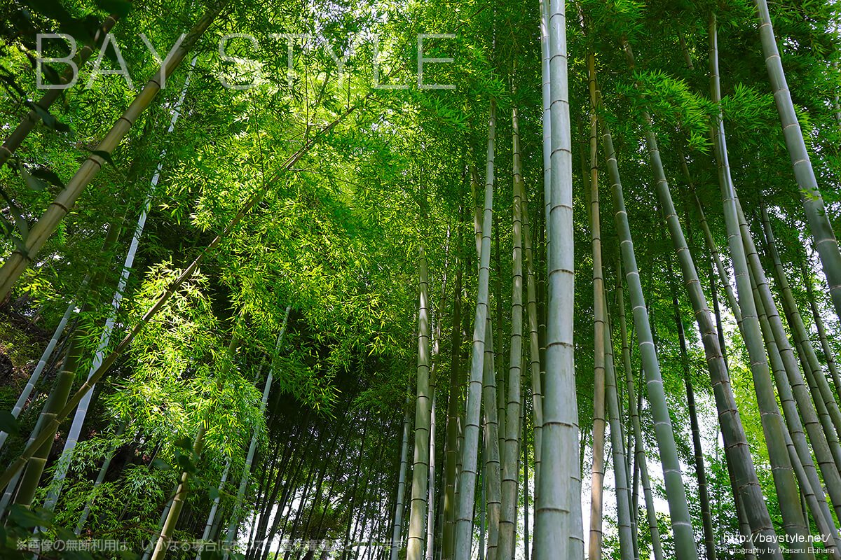 明月院で撮影した竹林