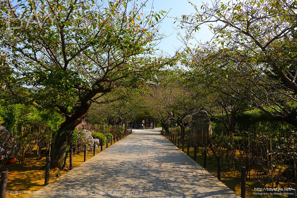 建長寺三門へと続く桜並木