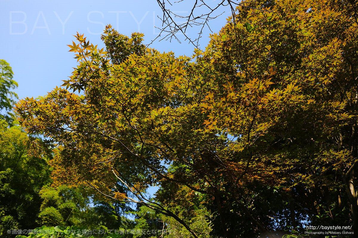 10月、建長寺半僧坊へと向う道の紅葉