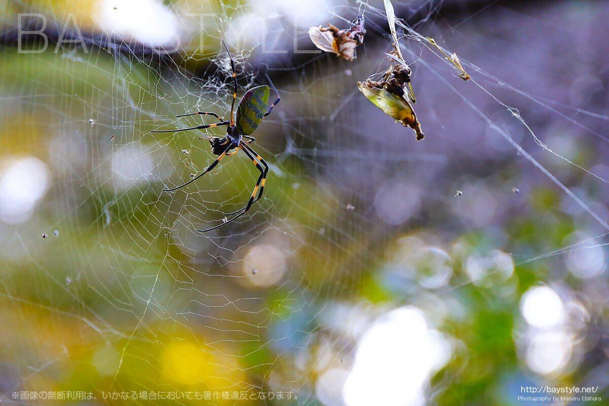 安国論寺の境内で撮影した蜘蛛