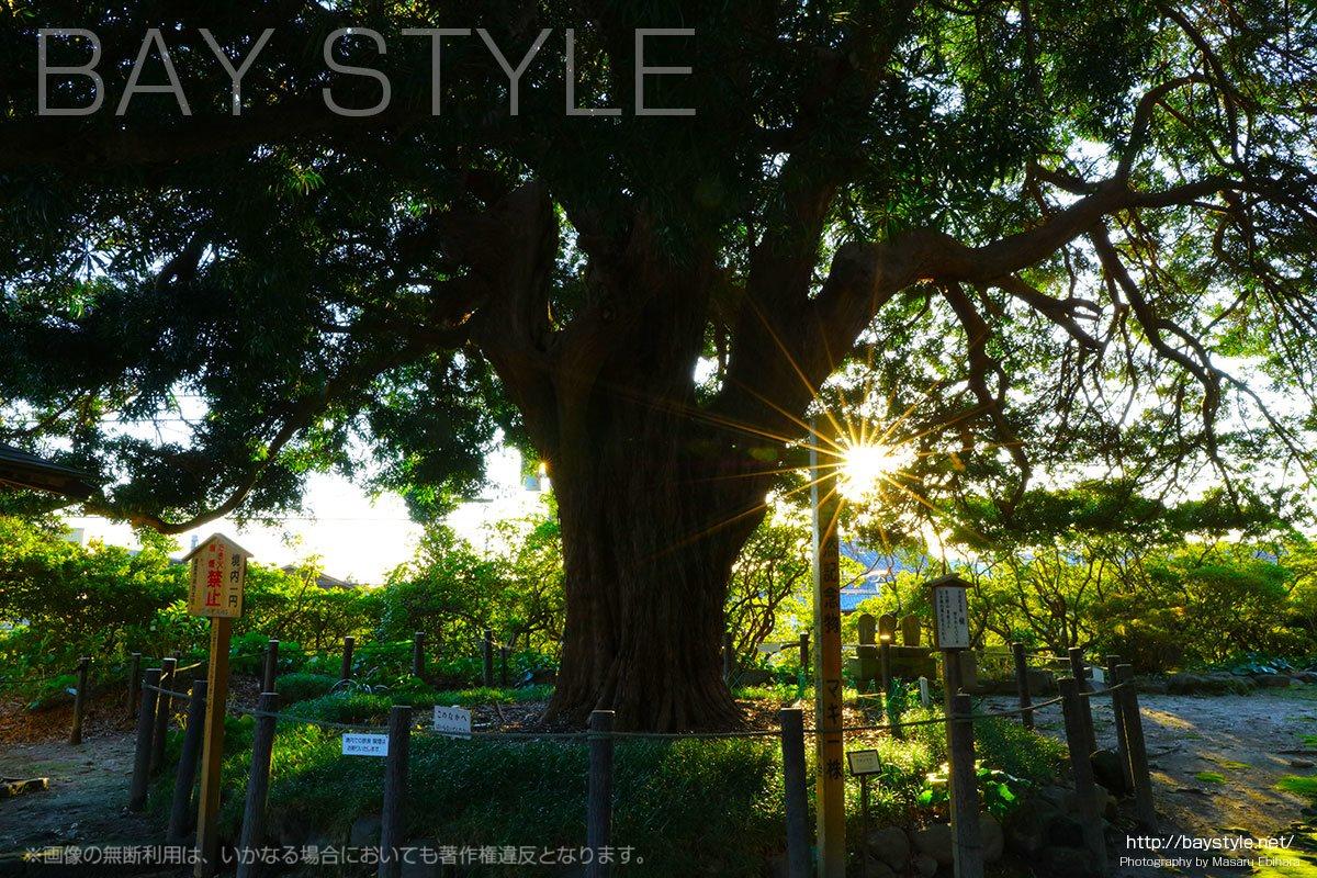 樹齢700年以上の槇の古木