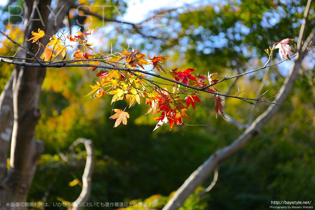 長谷寺経蔵付近の11月上旬の紅葉