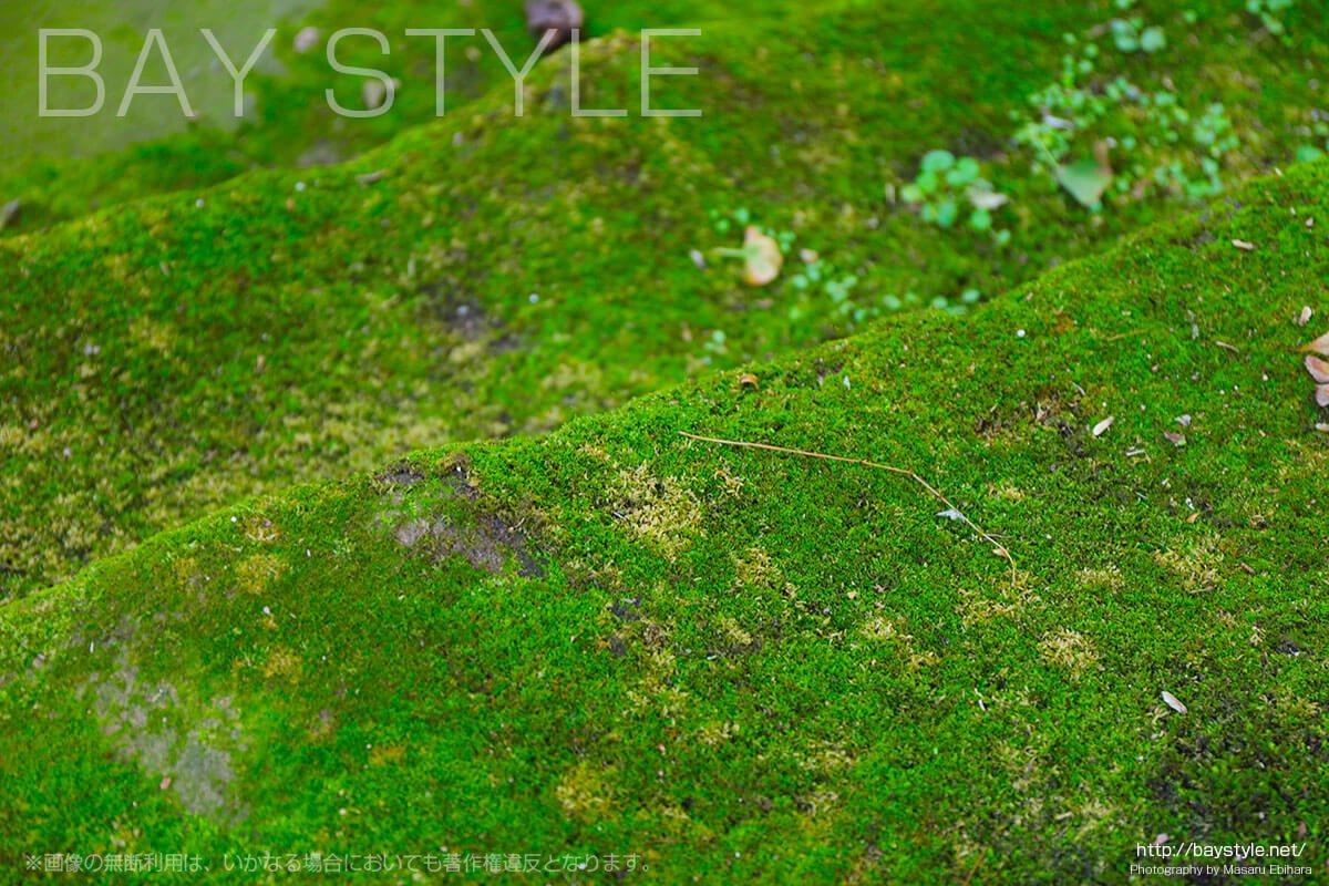 妙法寺の苔石段に生える苔