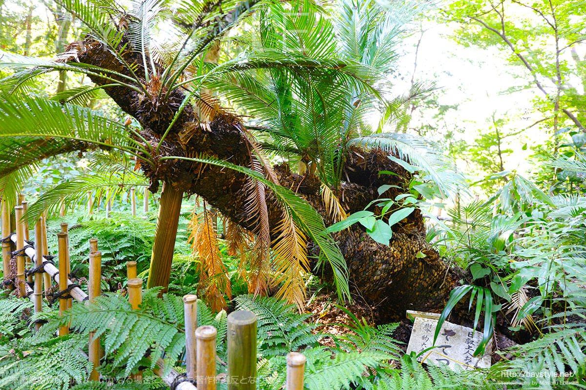 日蓮上人が植えた樹齢650年のソテツ