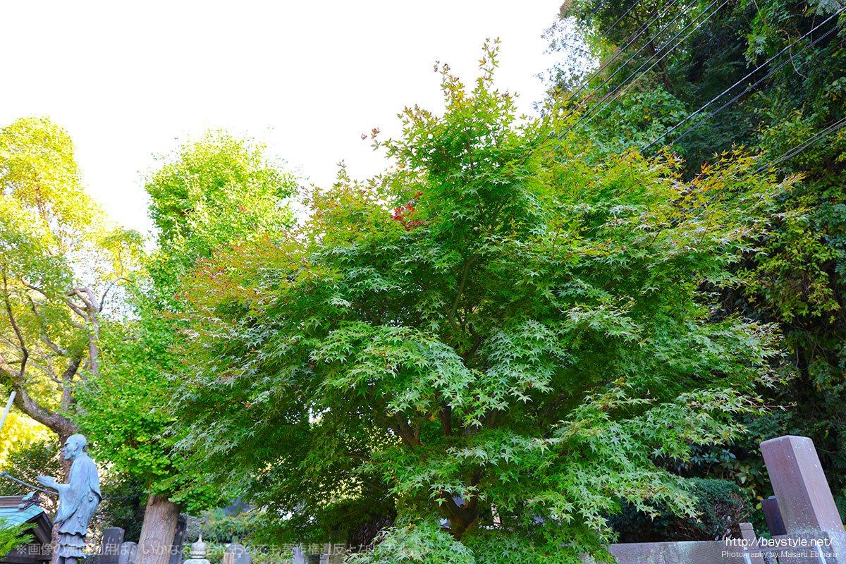 光触寺の11月上旬の紅葉はまだ