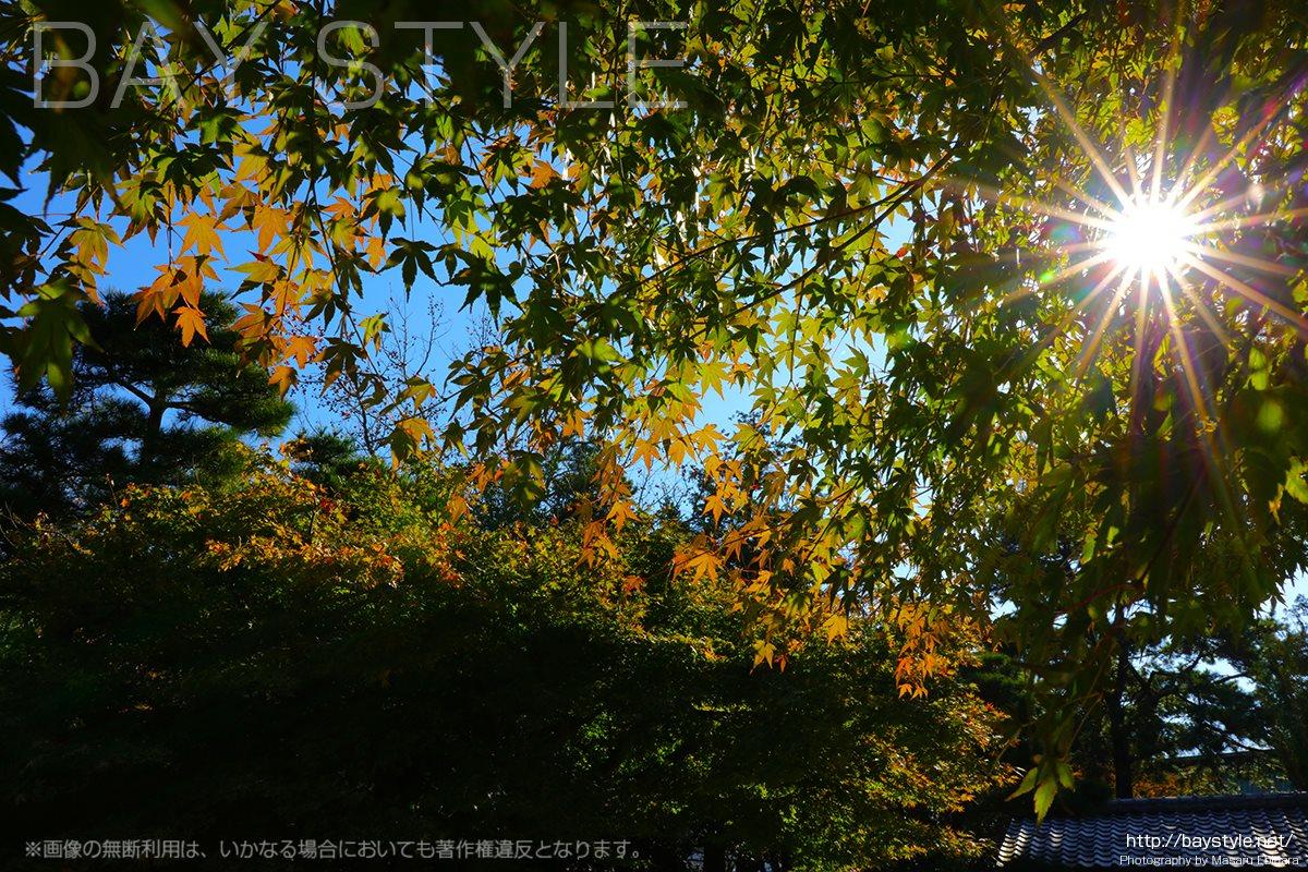 高徳院の紅葉