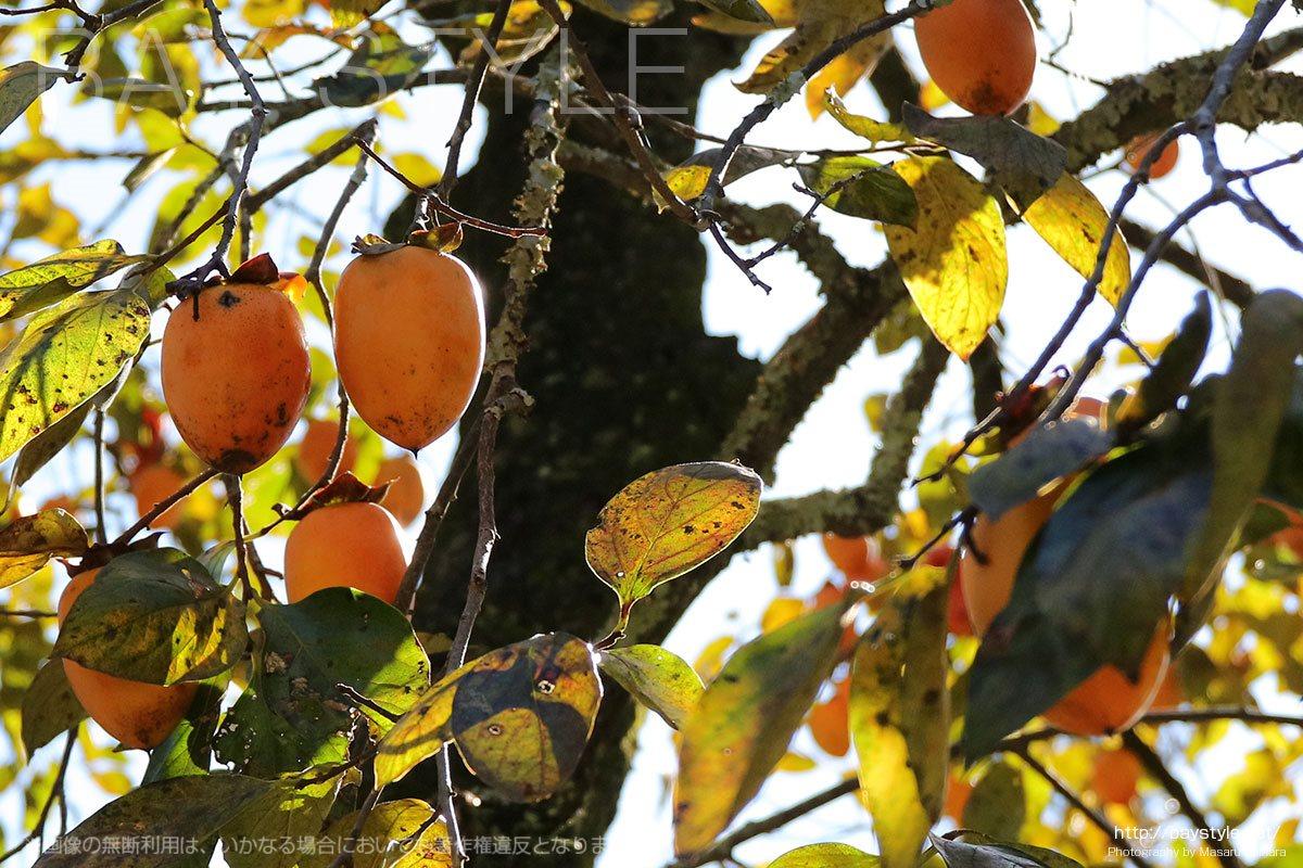浄智寺の境内に実る柿の実