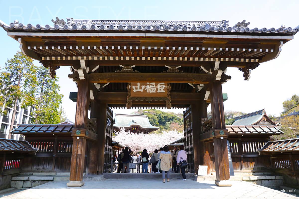 桜が満開のシーズンに突入した建長寺の総門前
