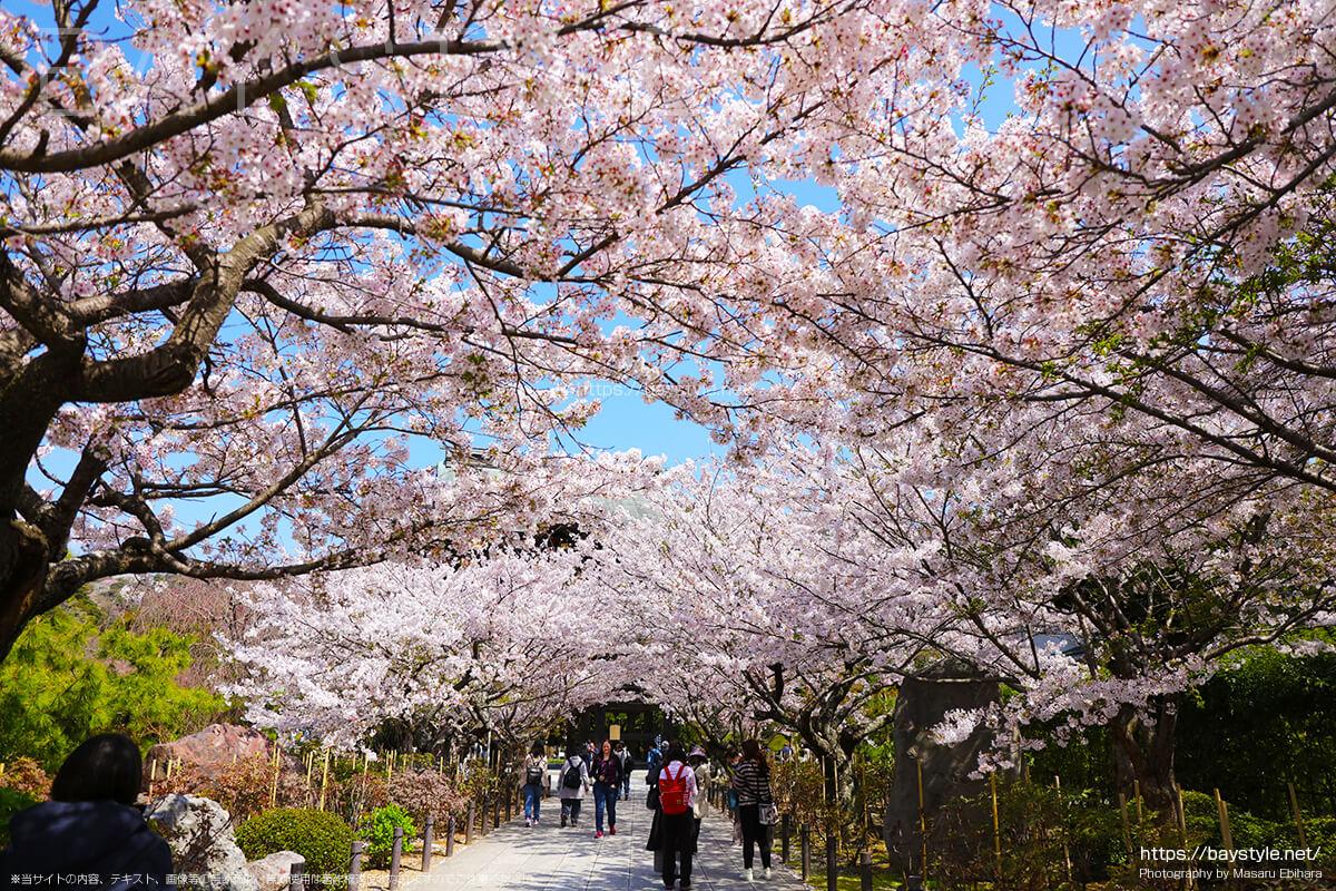 桜が満開の並木道
