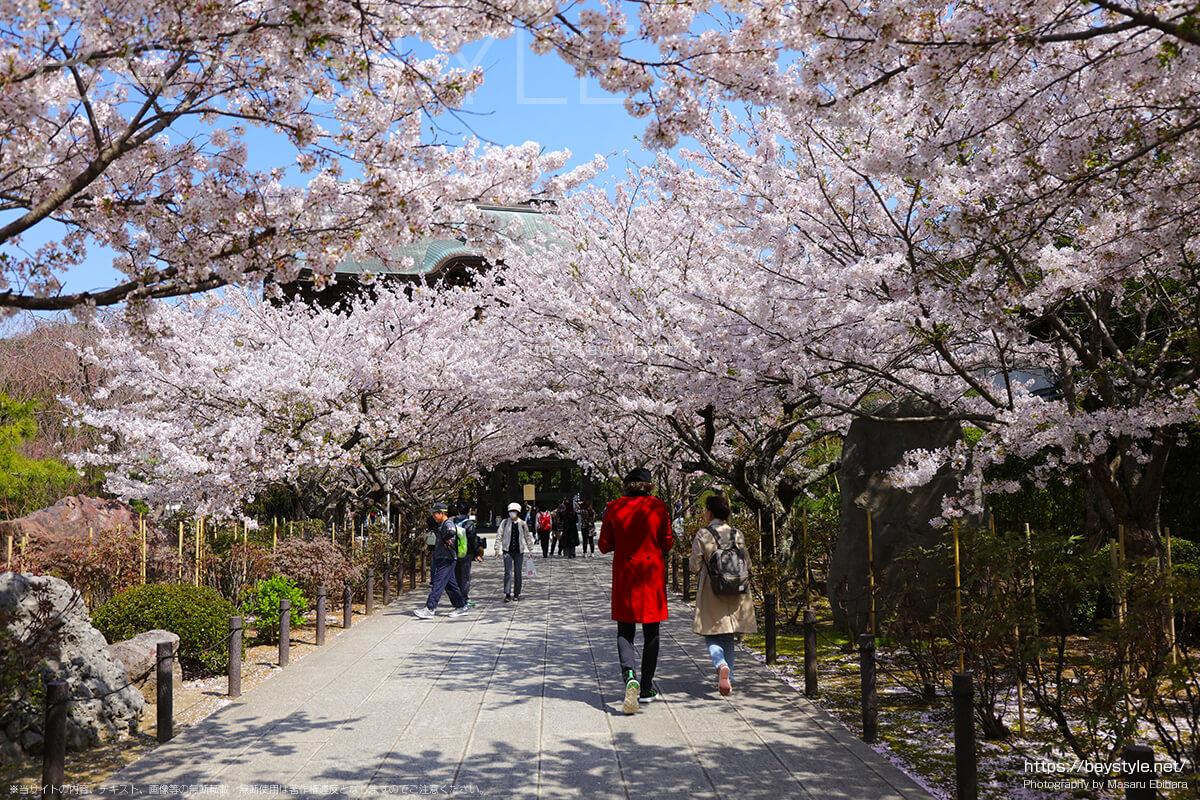鎌倉で桜を見るのにおすすめなお寺と神社