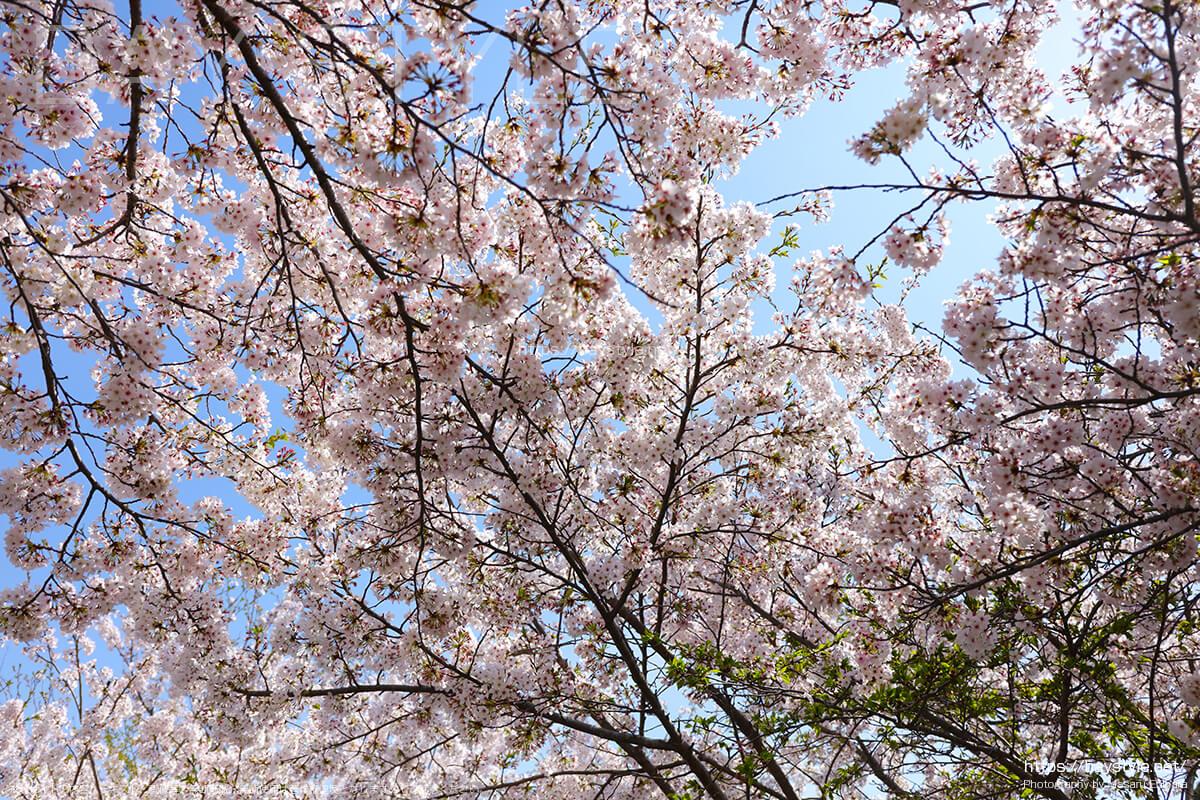 総門前の桜並木