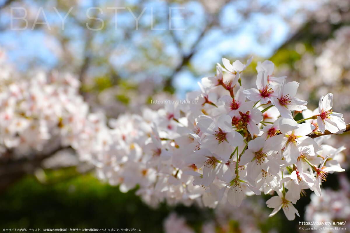 4月に遅く咲く桜の見分け方