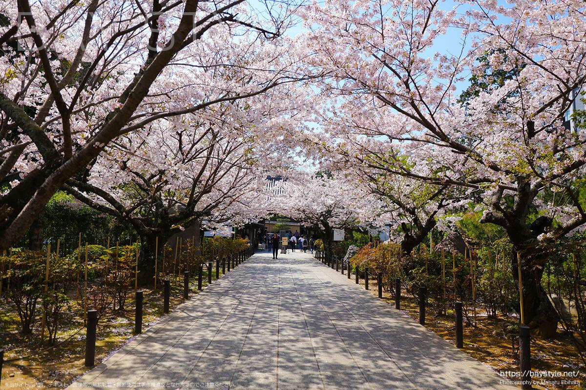 三門前から総門側に続く桜並木