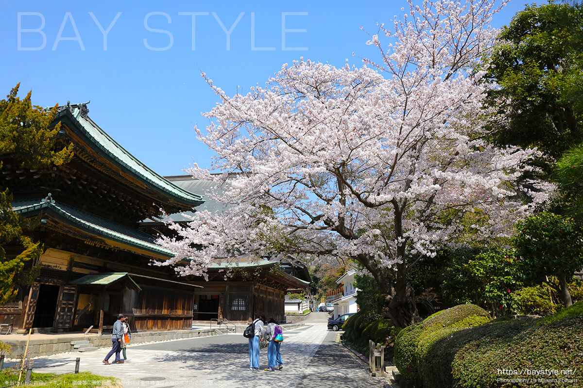 同契院と法堂の間にある桜