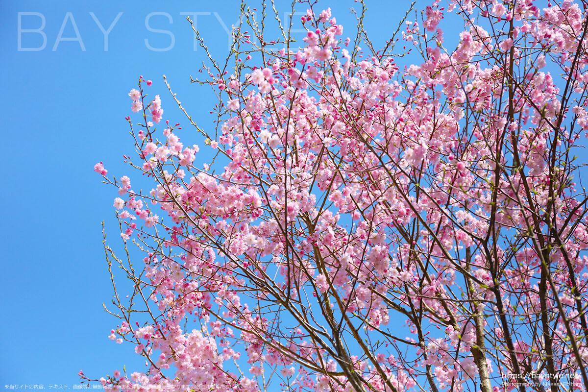 唐門付近の桜