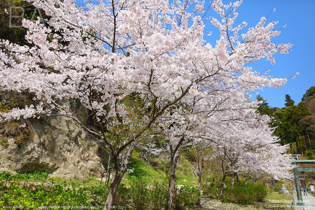 半僧坊へと続く桜並木