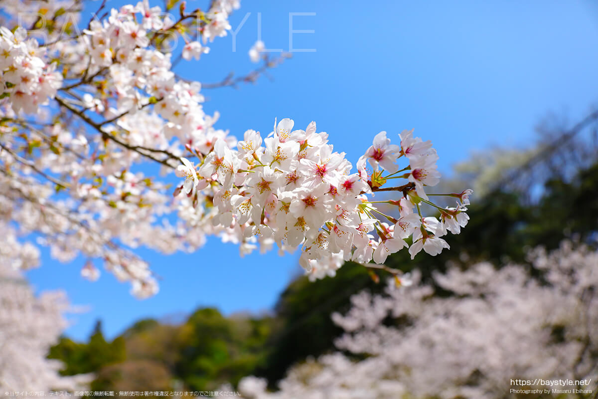 なぜお花見の花は桜なのか?