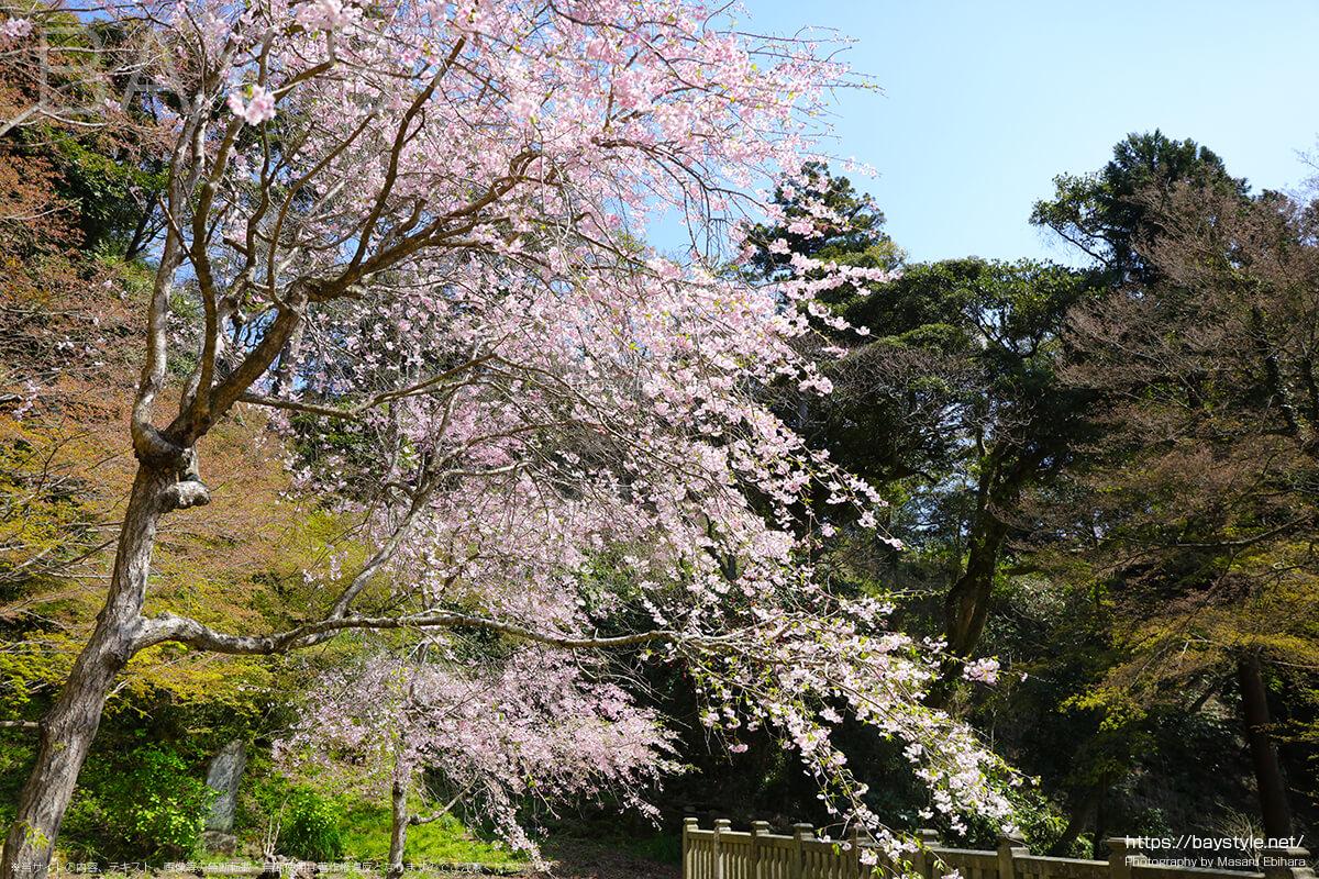 半僧坊へ向う階段の途中にある桜
