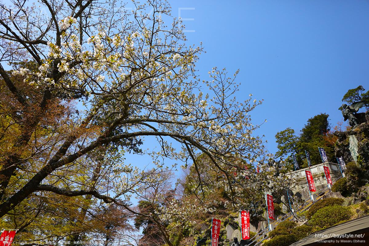 半僧坊の手前にある桜
