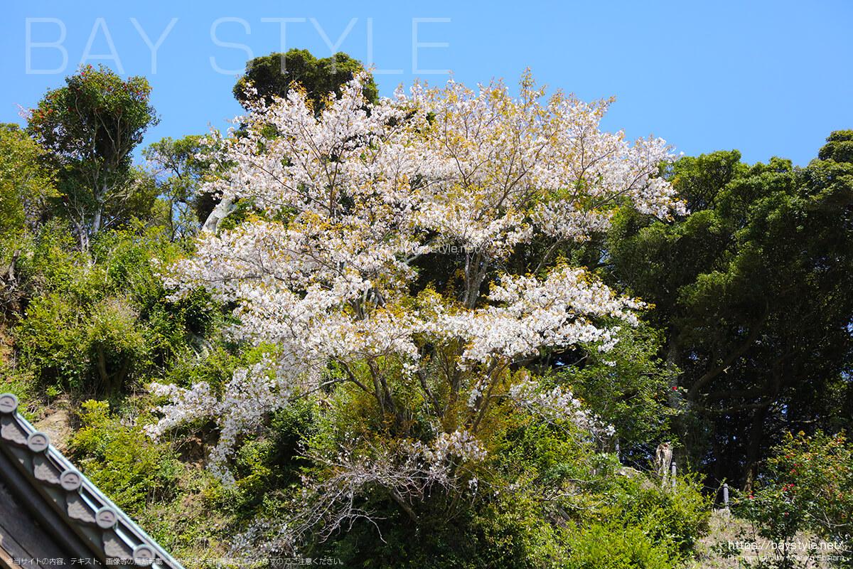 半僧坊の裏にある桜