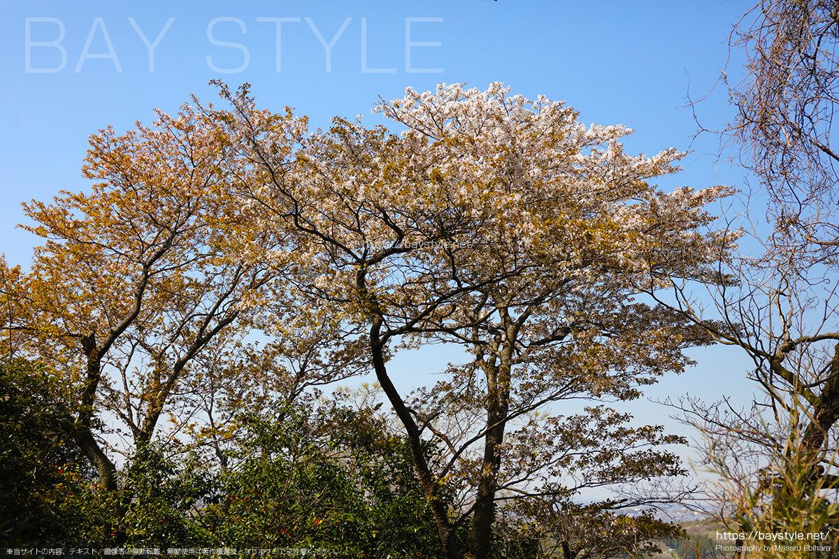 勝山獄展望台の桜