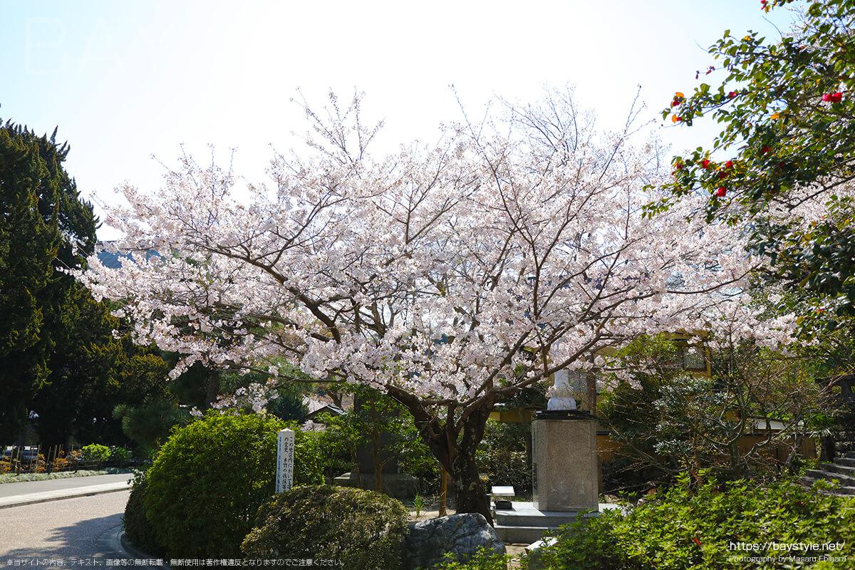曙観音と、震災慰霊塔の周りにある桜