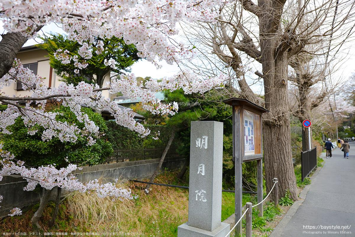 明月院に向う道にある桜