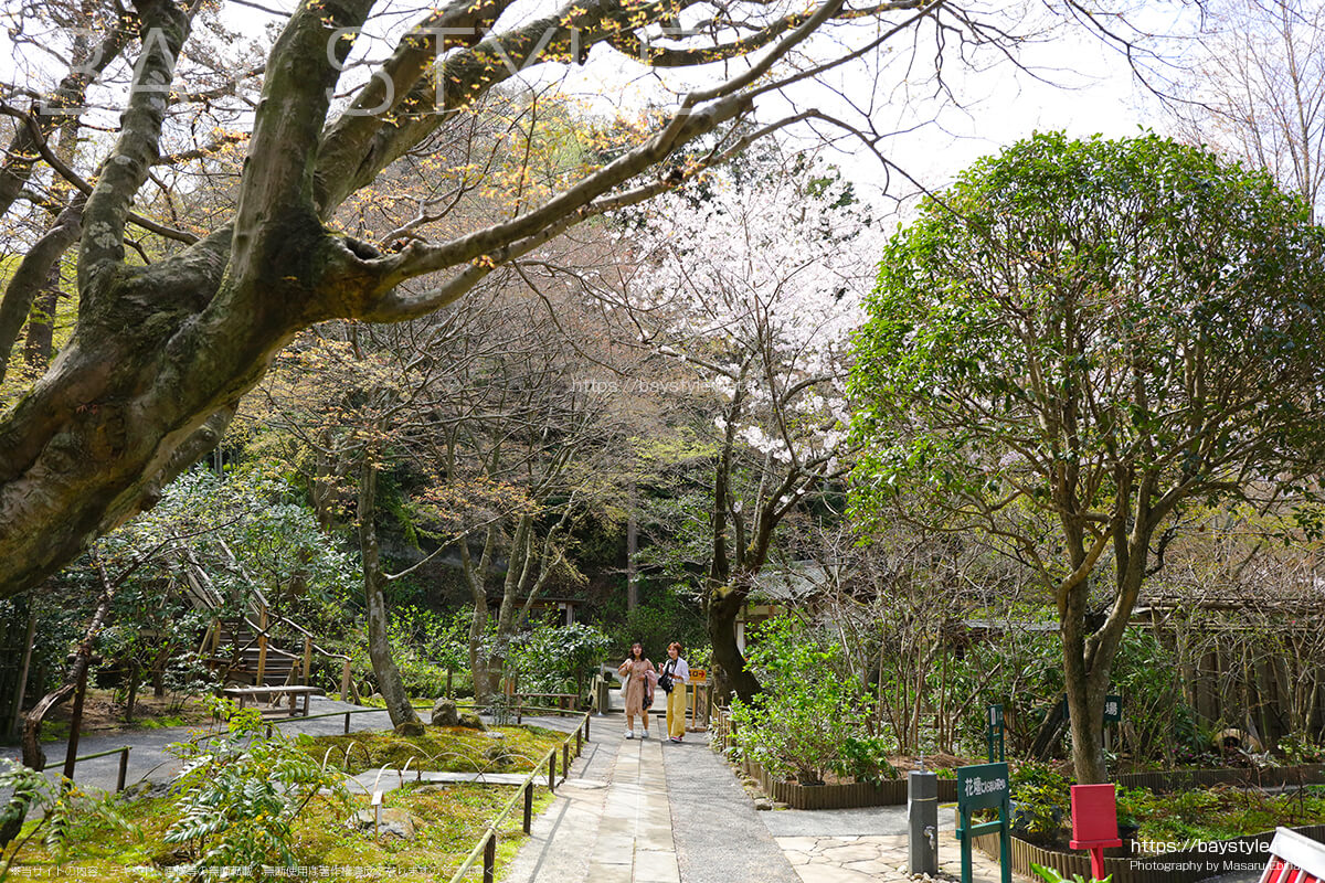 明月院の境内入口にある桜