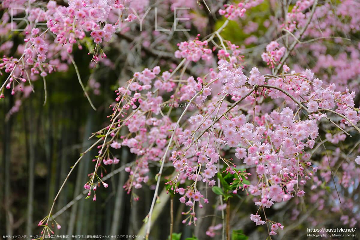明月院のしだれ桜