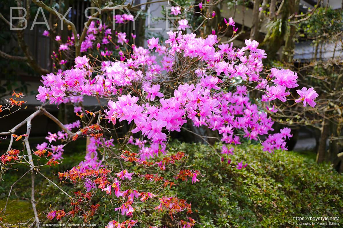 三葉躑躅の花