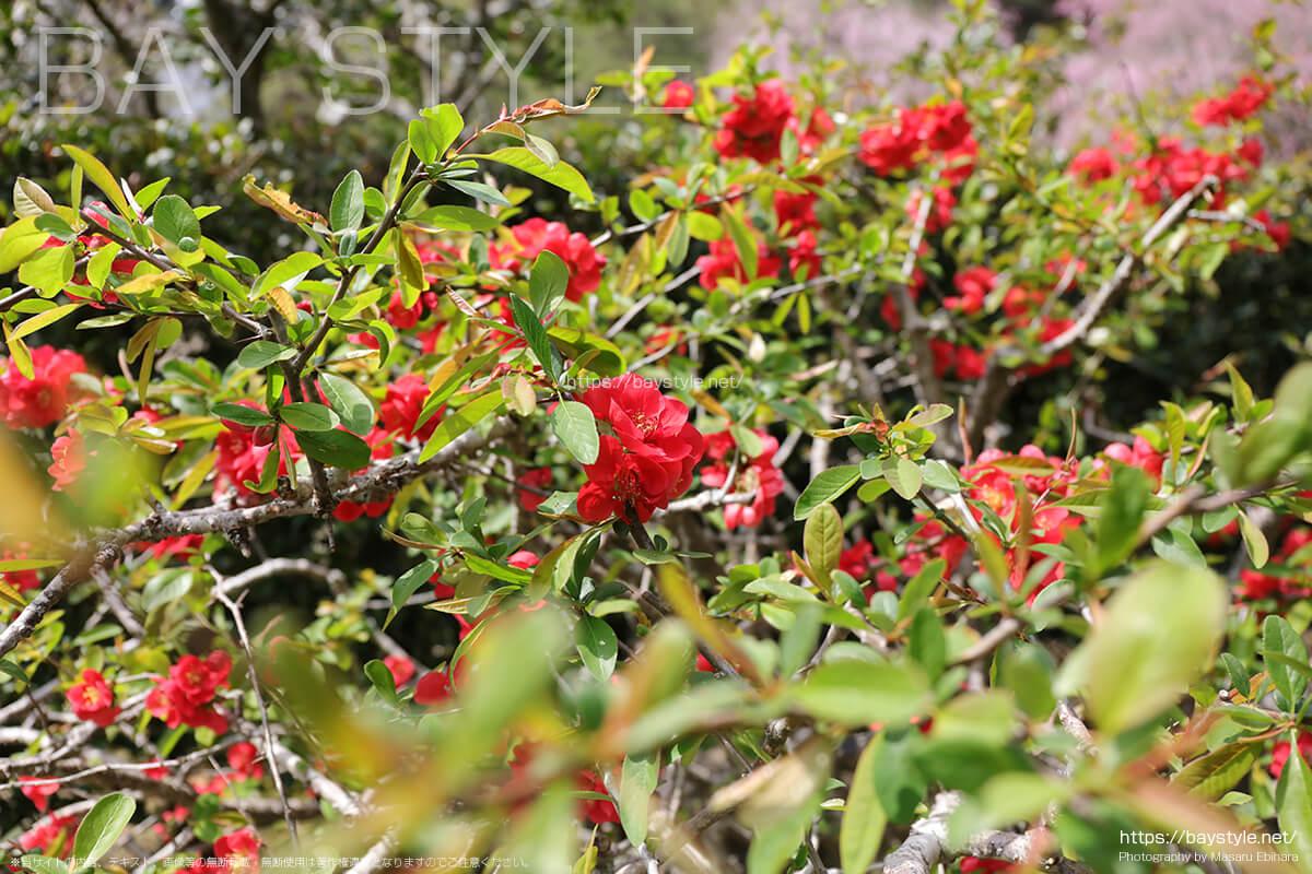 春に見られる明月院の草花は種類が豊富