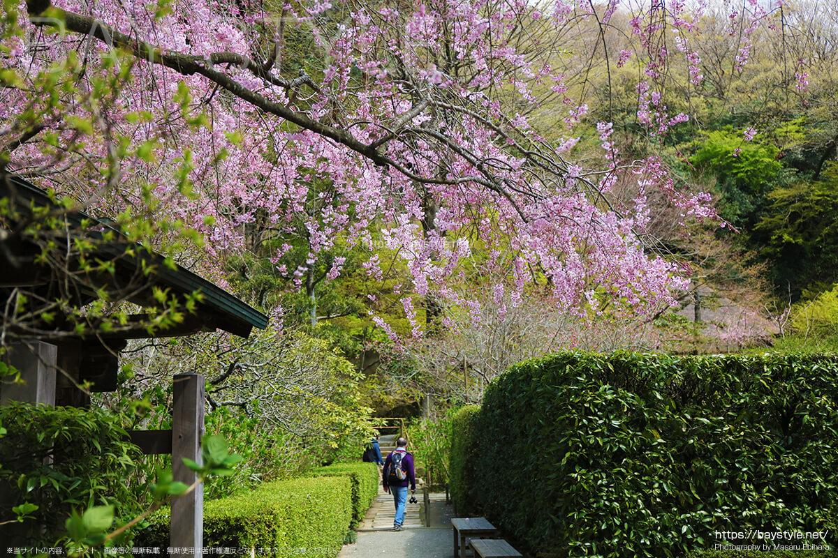 中門付近から撮影したしだれ桜