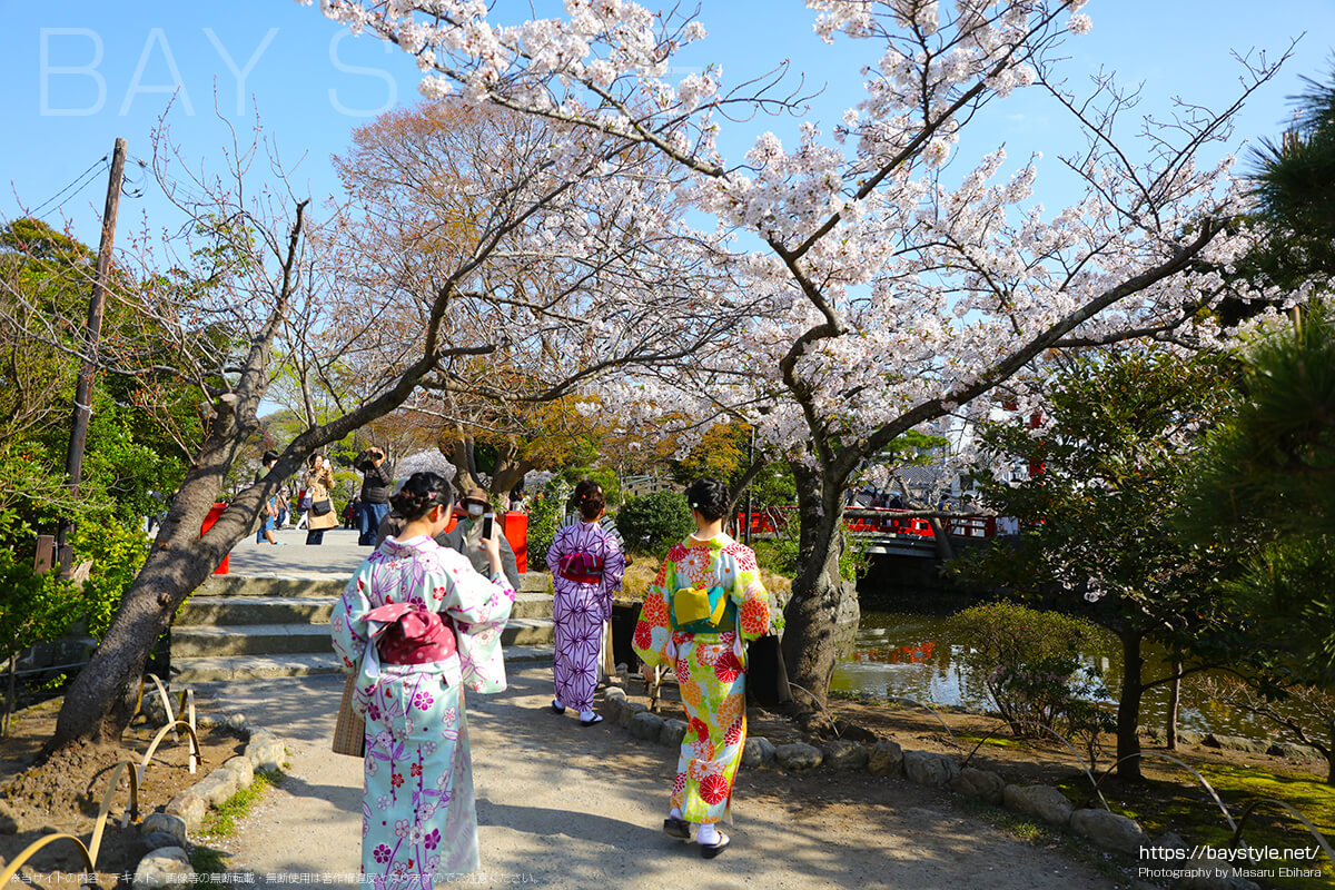 着物と鎌倉の桜