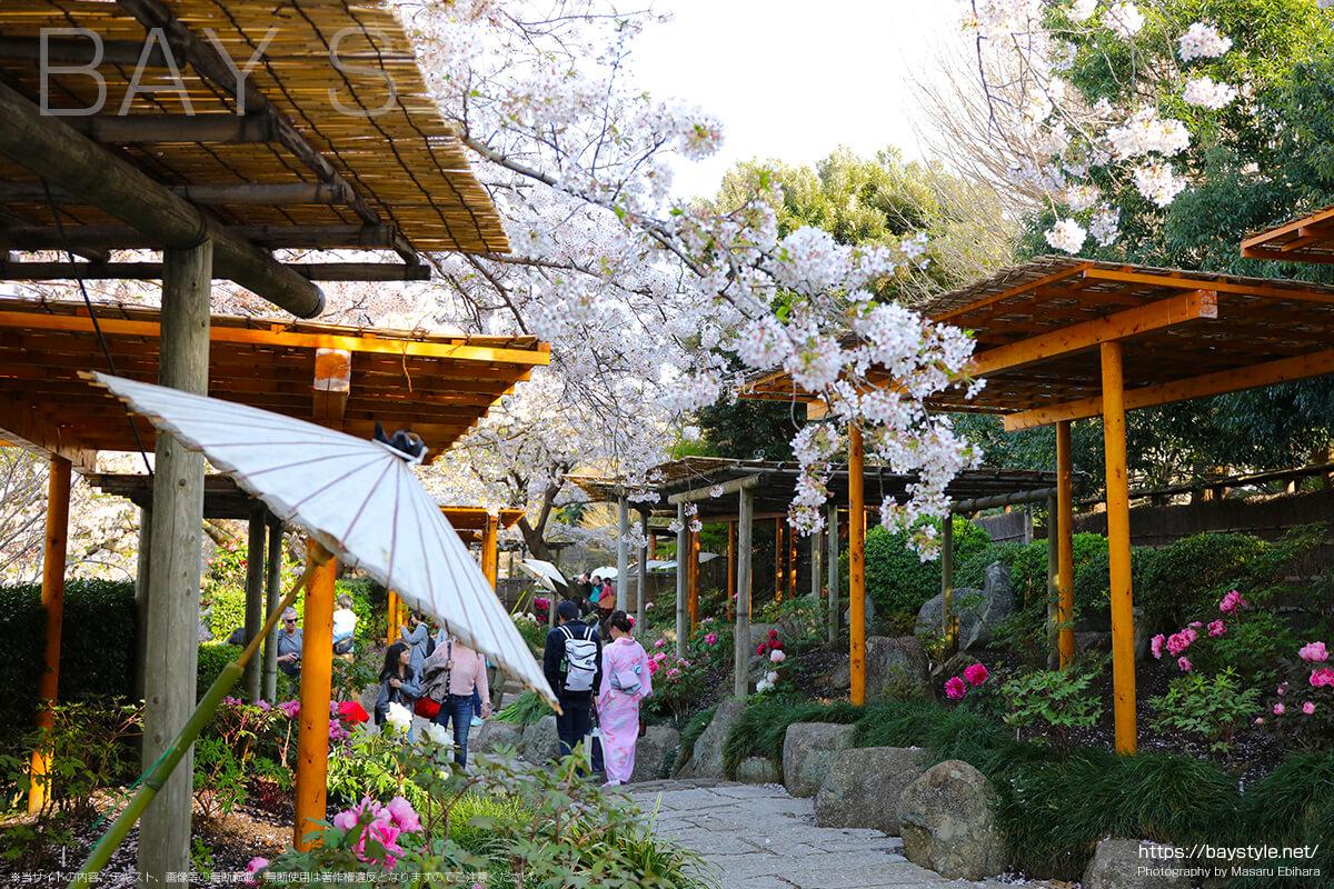 満開と散り時の桜の見分け方