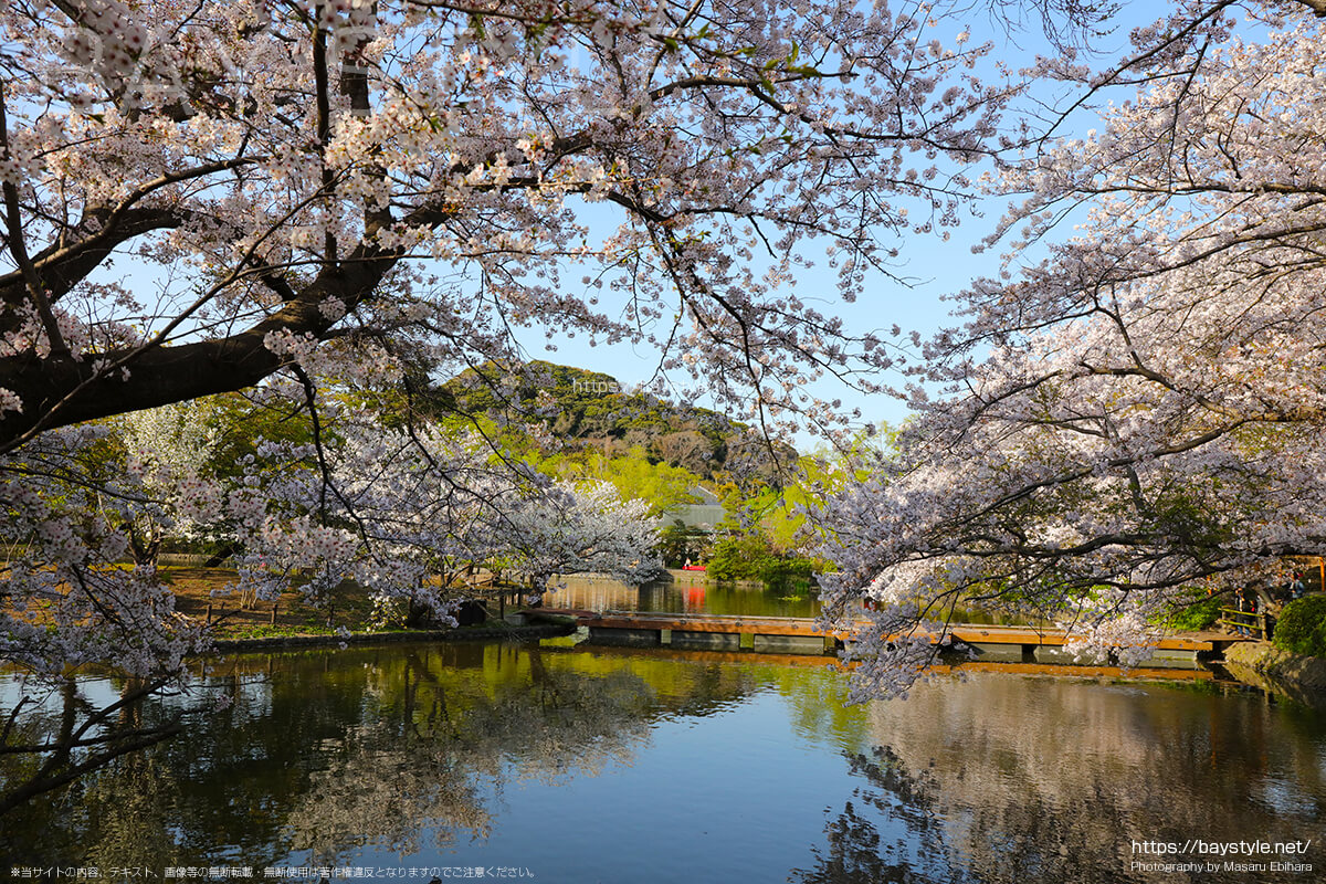 鶴岡八幡宮で一番桜が綺麗なおすすめの場所