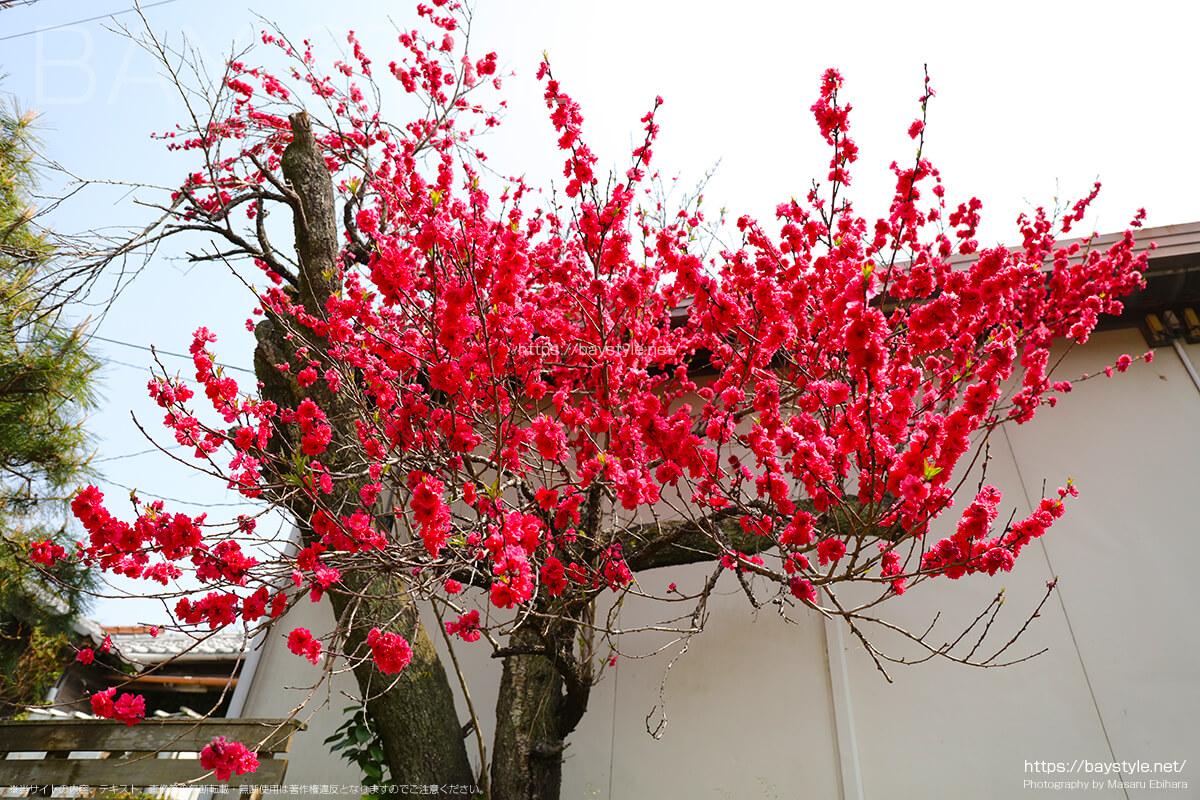 妙本寺から、八雲神社の途中で見つけた桃の花