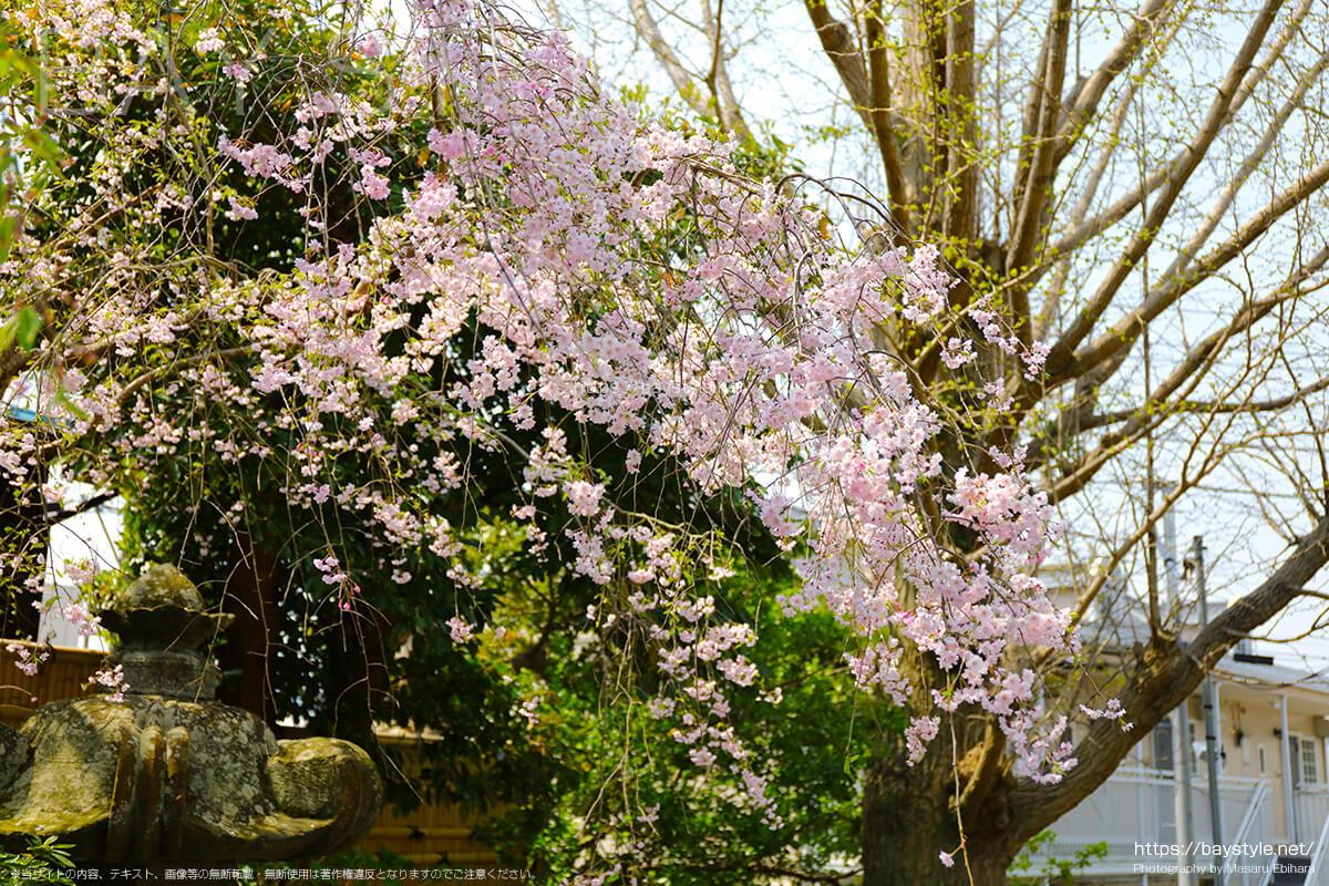 安国論寺の桜
