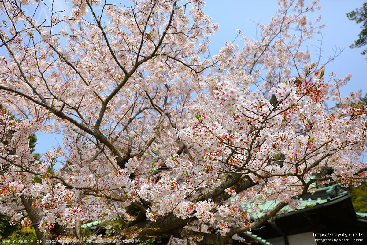 安養院の桜