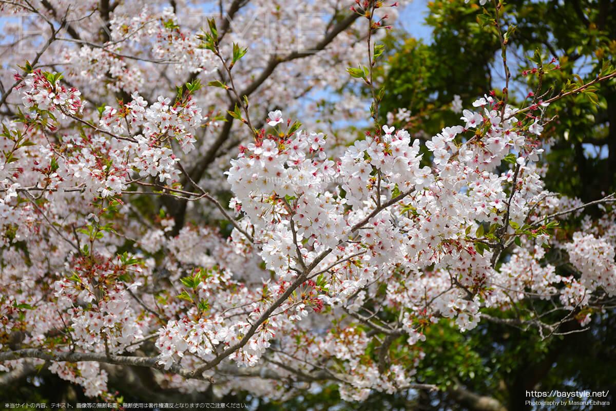 鎌倉の大仏前の桜
