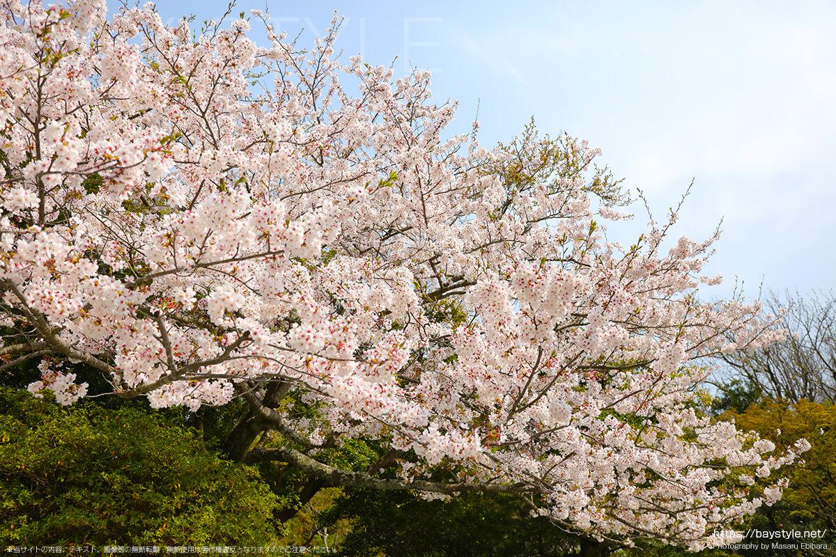 散る桜の見分け方と桜吹雪