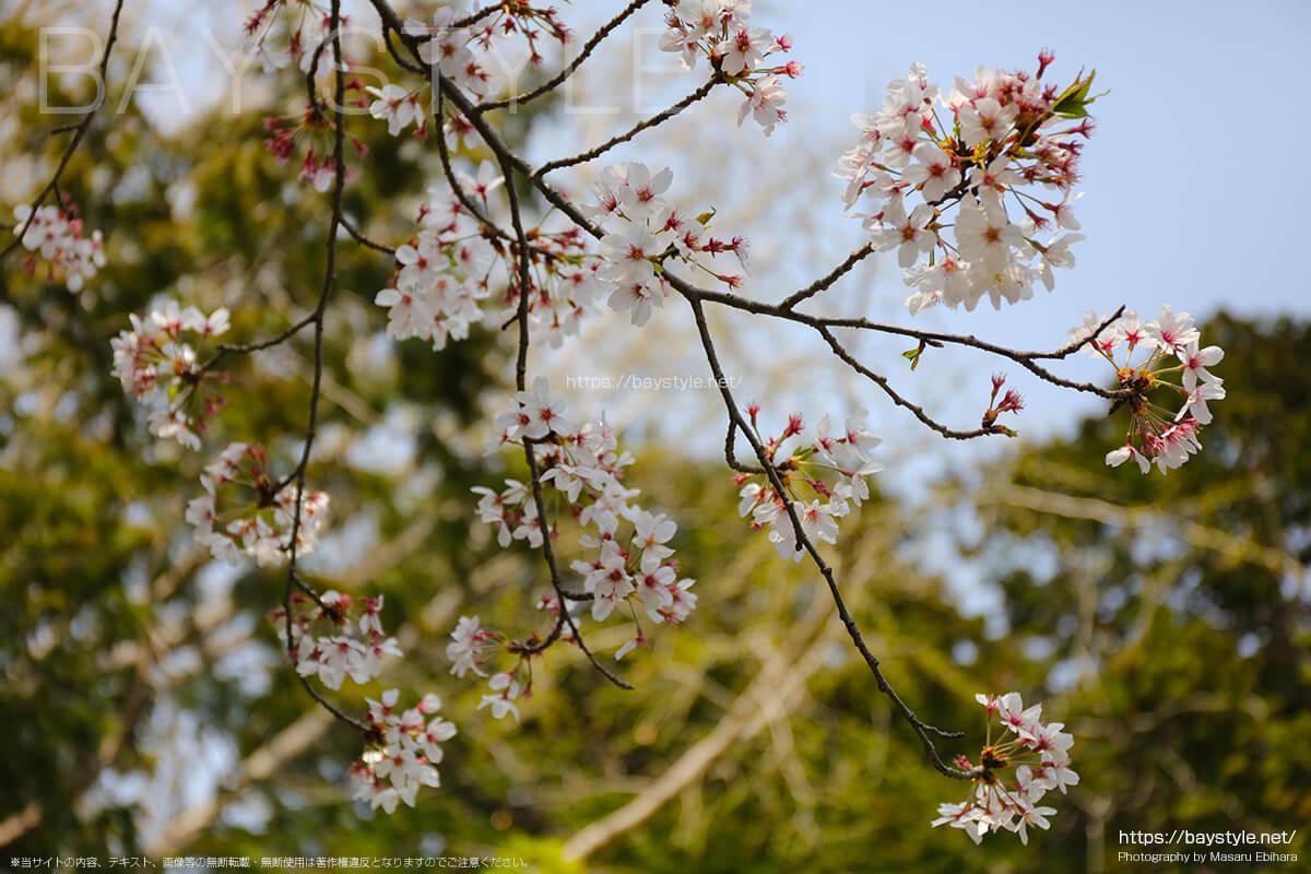 与謝野晶子歌碑周辺の桜