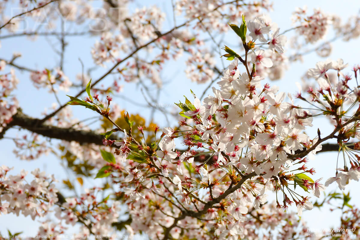 観月堂の隣にある桜