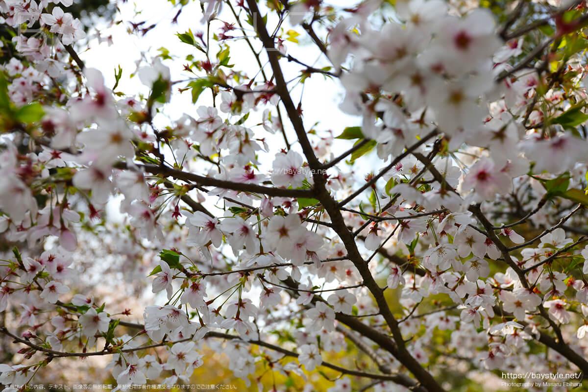 石碑周辺の桜